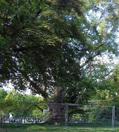 plus gros arbre de Paris